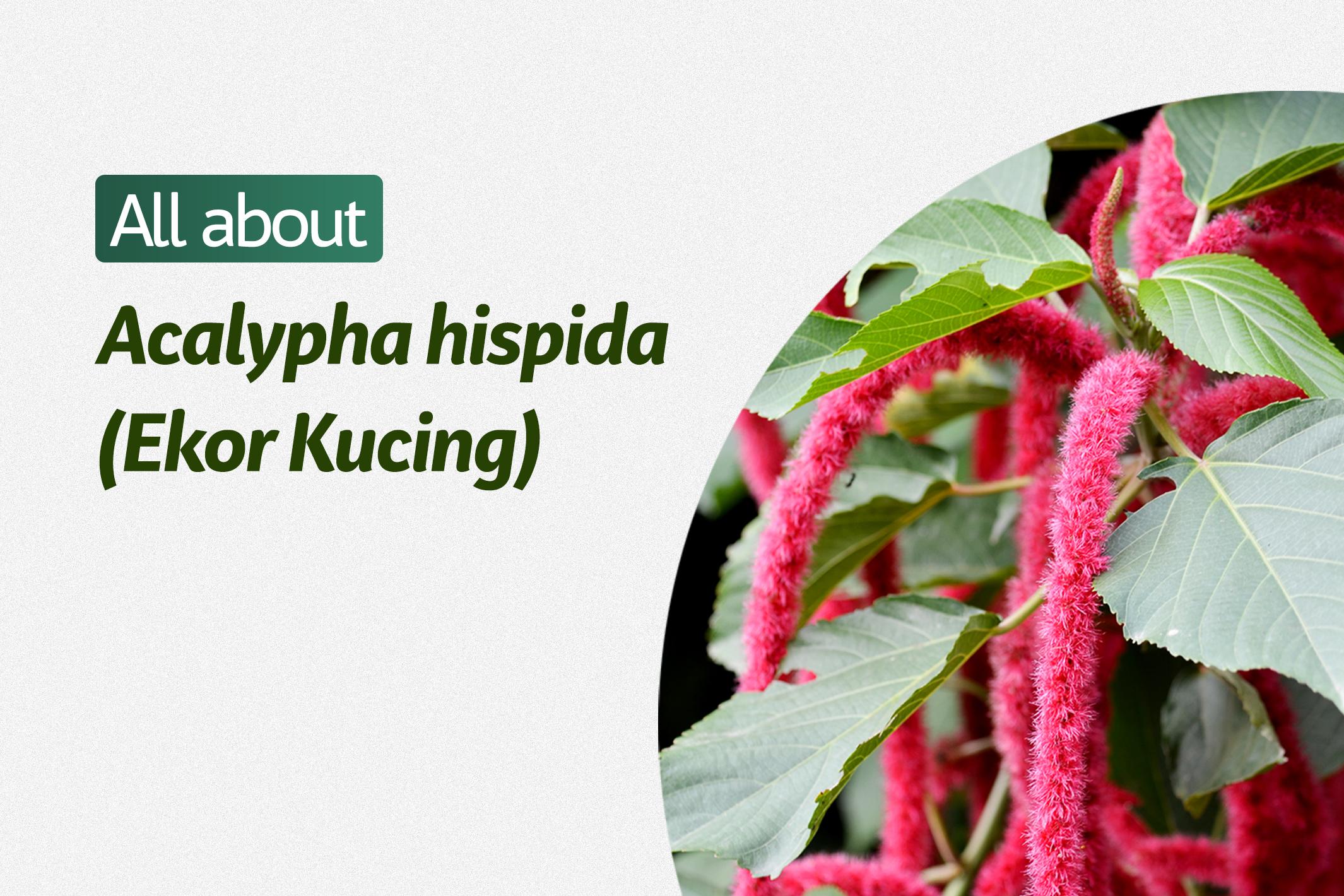 Acalypha Hispida (Ekor Kucing)