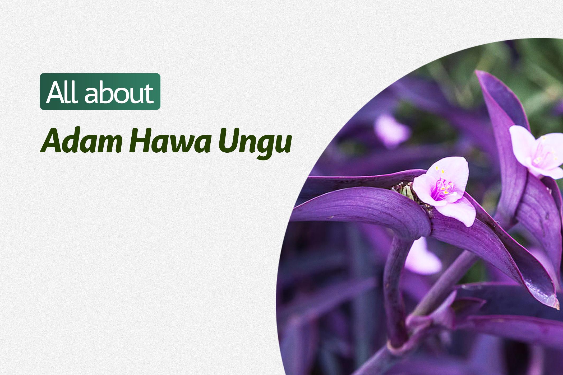 Adam Hawa Ungu (Tradescantia Pallida)