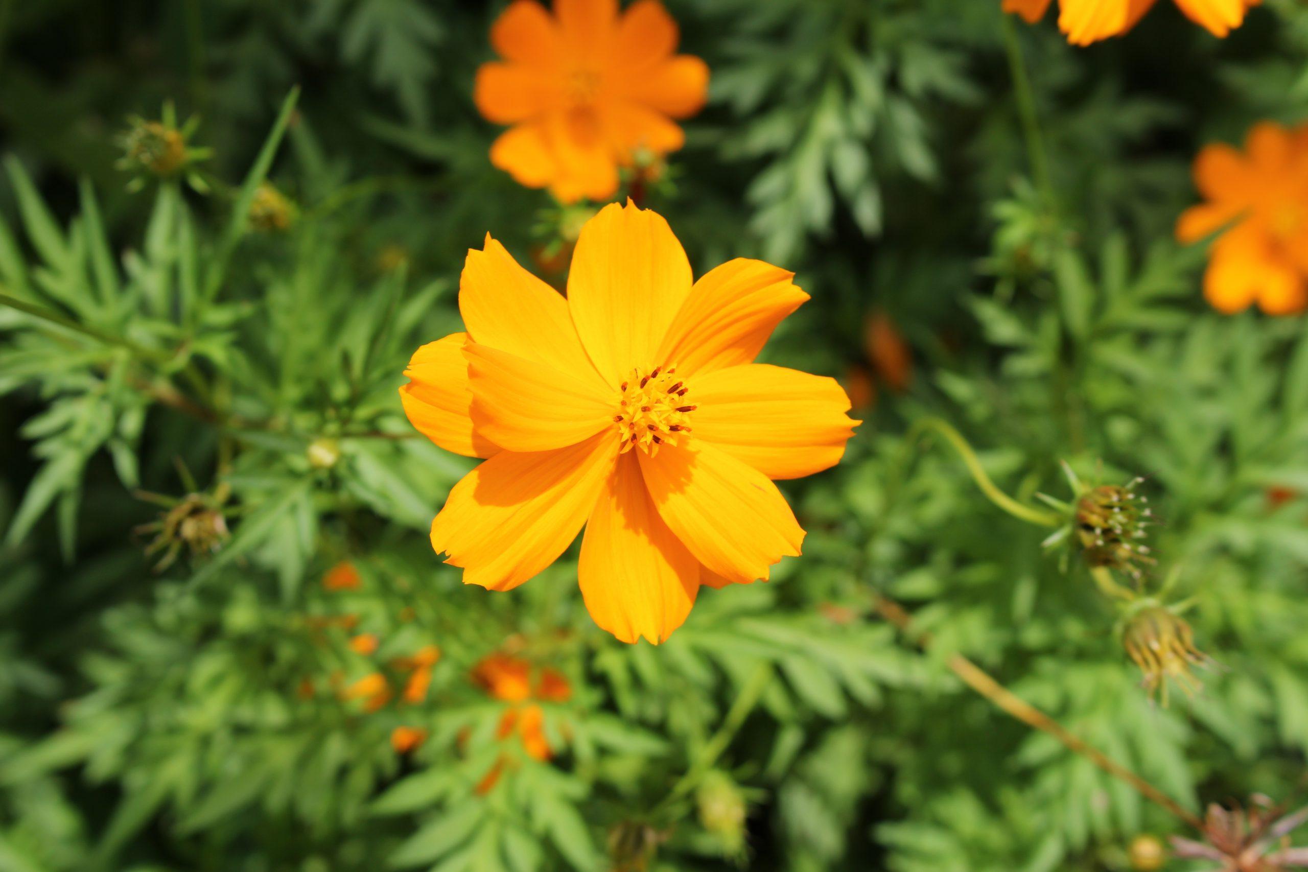 Bunga Kenikir