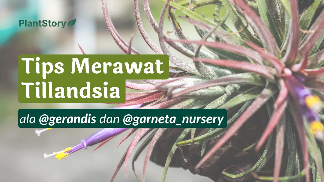 Tips Merawat Tillandsia ala Gerandis dan Garneta Nursery