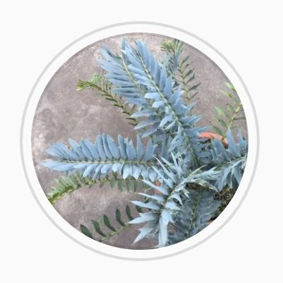 Vandana Plant