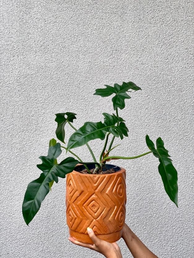 Philodendron 'Dragon'