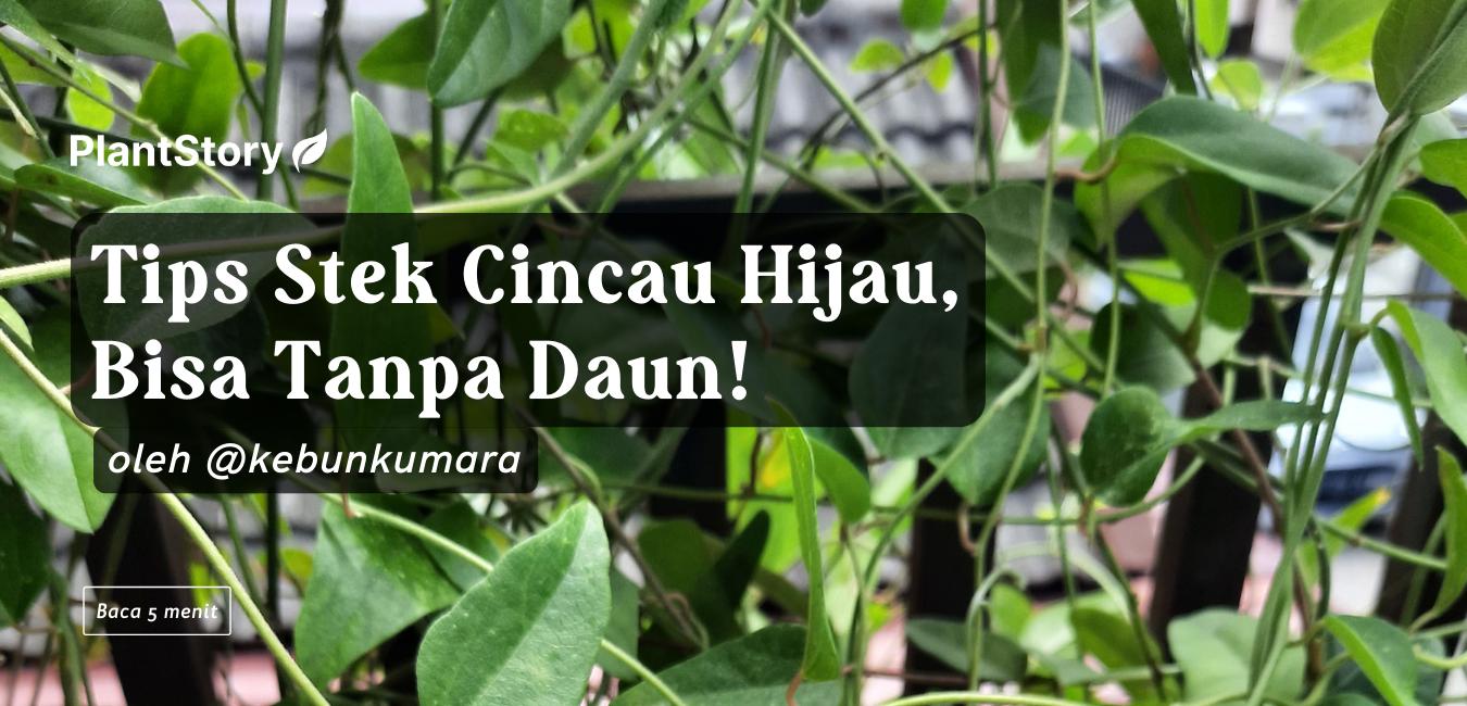 Tips Stek Cincau Hijau, Bisa Tanpa Daun!